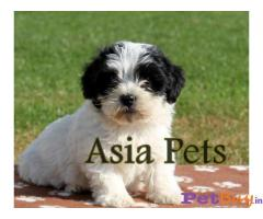 Asiapets - Havanese puppies for sale