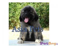 CAUCASIAN SHEPHERD DOG PUPPIES PRICE IN INDIA |2|
