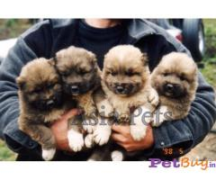 Asiapets - caucasian ovcharka puppy for sale