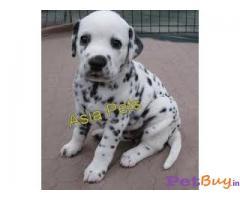 Dalmatian Puppy Price For Sale in Mumbai