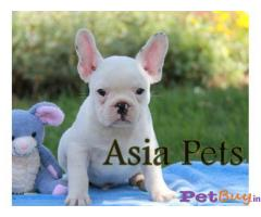 French bulldog Puppy Price For Sale in Mumbai