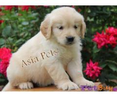 Golden retriever Puppy Price For Sale in Mumbai