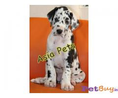 Harlequin great dane Puppy Price For Sale in Mumbai