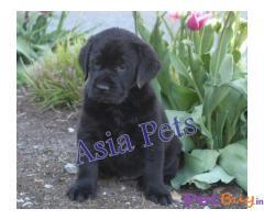 Labrador Puppy Price In New Delhi | Labrador Puppy For Sale In New Delhi