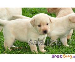Labrador Puppy Price In Gurgaon | Labrador Puppy For Sale In Gurgaon