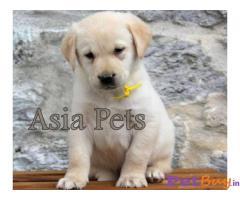 Labrador Puppy Price In Hyderabad | Labrador Puppy For Sale In Hyderabad