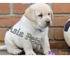 Labrador Puppy Price In Jammu | Labrador Puppy For Sale In Jammu