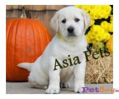 Labrador Puppy Price In Madhya Pradesh | Labrador Puppy For Sale In Madhya Pradesh