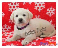 Labrador Puppy Price In Orissa | Labrador Puppy For Sale In Orissa