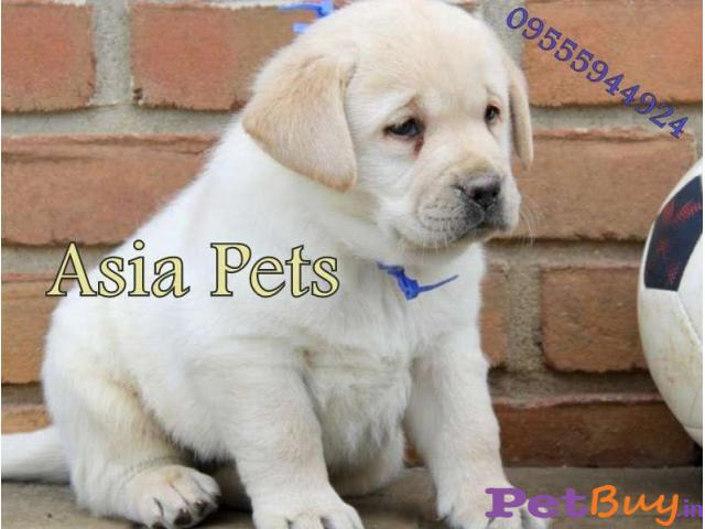 Labrador Puppy Price In Thane Labrador Puppy For Sale In Thane