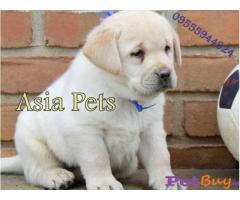 Labrador Puppy Price In Pune | Labrador Puppy For Sale In Pune