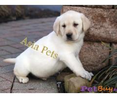 Labrador Puppy Price In Secunderabad | Labrador Puppy For Sale In Secunderabad