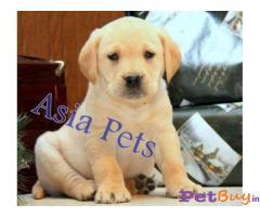 Labrador Puppies Price In Goa, Labrador Puppies For Sale In Goa