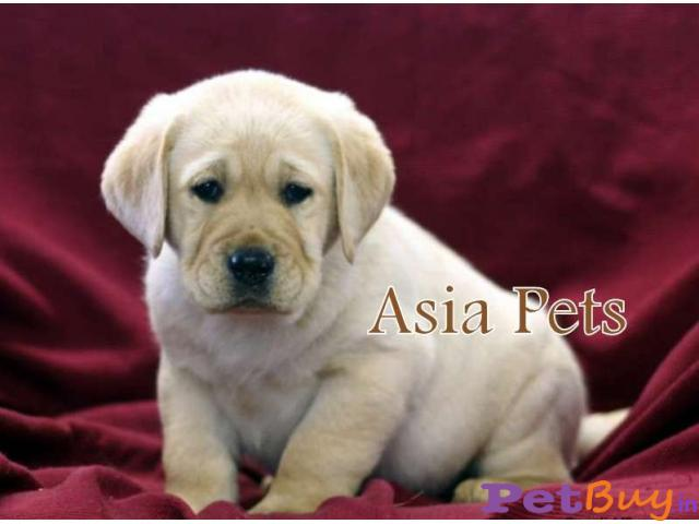 Labrador Puppies Price In Indore Labrador Puppies For Sale In Indore