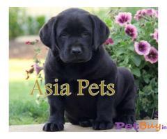 Labrador Puppies Price In Karnataka, Labrador Puppies For Sale In Karnataka