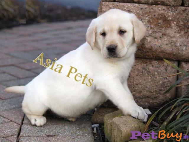 Labrador Puppies Price In Patna Labrador Puppies For Sale In Patna