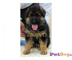 German shepherd Puppy For Sale in Delhi - Breed