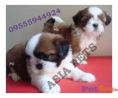 Shih Tzu Puppy For sale At Asia Pets