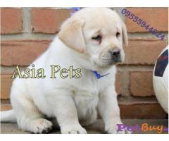 Labrador Pups Price In Bhubaneswar, Labrador Pups For Sale In Bhubaneswar