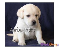 Labrador Pups Price In Delhi, Labrador Pups For Sale In Delhi