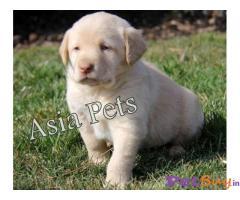 Labrador Pups Price In Vadodara, Labrador Pups For Sale In Vadodara