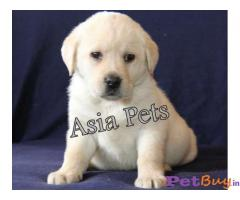 Labrador Pups Price In Srinagar, Labrador Pups For Sale In Srinagar