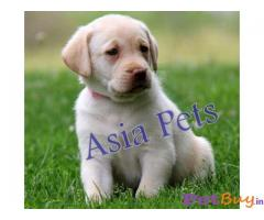 Labrador Pups Price In Rajasthan, Labrador Pups For Sale In Rajasthan