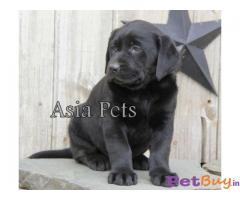 Labrador Pups Price In Haryana, Labrador Pups For Sale In Haryana