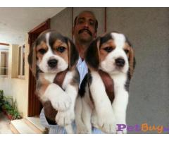 Beagle Pups Price In Srinagar, Beagle Pups For Sale In Srinagar