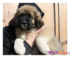 Caucasian Shepherd Pups Price In Haryana, Caucasian Shepherd Pups For Sale In Haryana
