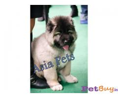 Caucasian Shepherd Pups Price In Jammu, Caucasian Shepherd Pups For Sale In Jammu