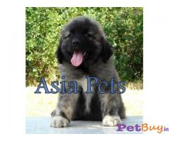 Caucasian Shepherd Pups Price In Secunderabad, Caucasian Shepherd Pups For Sale In Secunderabad