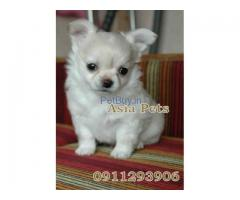 Chihuahua  Puppy For sale At Asia Pets
