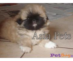 White Pekingese dog Puppies for sale - AsiaPets