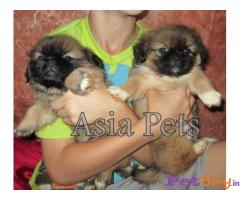 Pekingese puppies for sale in delhi at low price FOR SALE