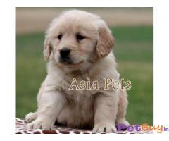 Golden Retriever dogs for sale Hyderabad  | Asiapets