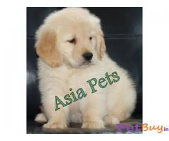 Golden retriever puppies for sale in hyderabad in Hyderabad