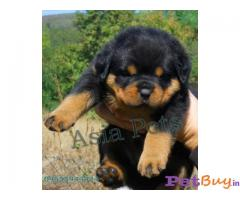 ❄❄  ASIA PETS ❄❄  Rottweiler PUPPIES FOR SALE --