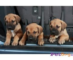 Great dane puppies in hyderabad, Great dane puppy in hyderabad