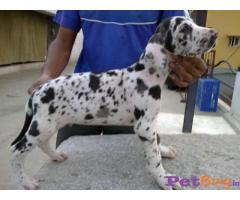 Harlequin Great Dane Puppies for Sale in Hyderabad