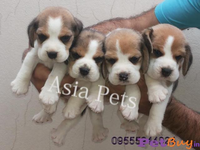 Beagle Dog In India Beagle Dog Price In India Beagle Cost In
