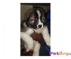 Caucasian Shepherd Puppy Price In Andhra, Caucasian Shepherd Puppy For Sale In Andhra Pradesh