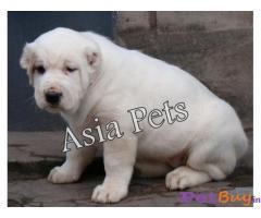 Caucasian Shepherd Puppy Price In New Delhi, Caucasian Shepherd Puppy For Sale In New Delhi