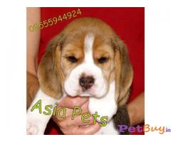 Beagle Price in India, Beagle puppy for sale in Chennai