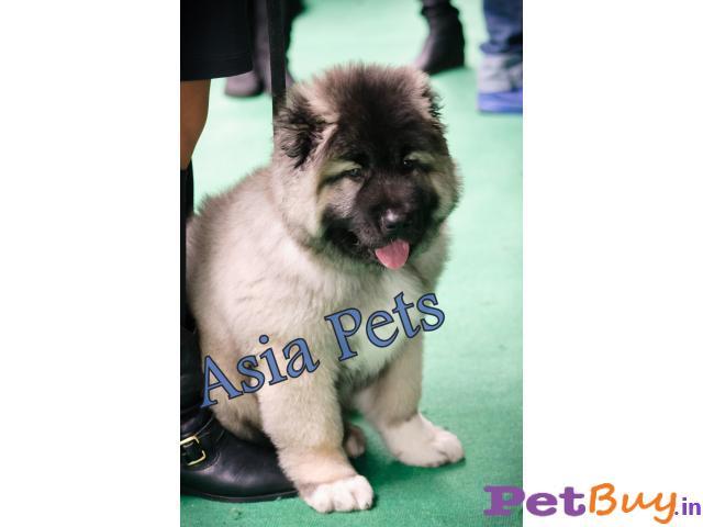 Caucasian Shepherd Puppy Price In Kerala Caucasian Shepherd Puppy