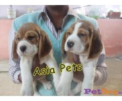 Beagle Puppies For Sale In Tirupati