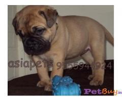BULLMastiff Puppies for sale at best price in Gurgaon