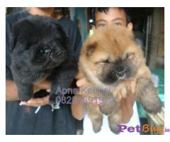 CHOW CHOW Puppies for sale at best price in Gurgaon