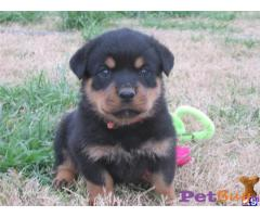 ROTTWEILER  Puppies for sale at best price in Gurgaon