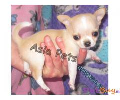 CHIHUAHUA Puppies for sale at best price in Delhi
